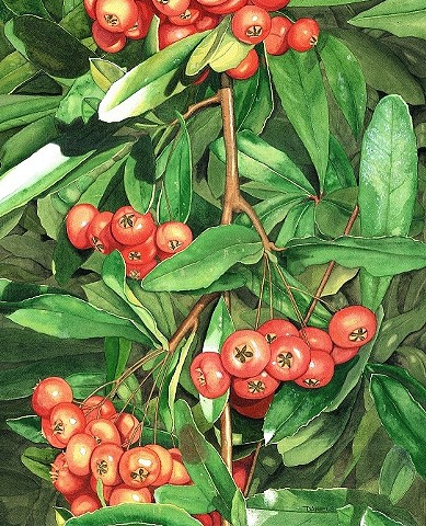 Pyracantha, Pyracantha Print, pyracantha watercolor, Firethorn, Red Berries, Floral Watercolor Print