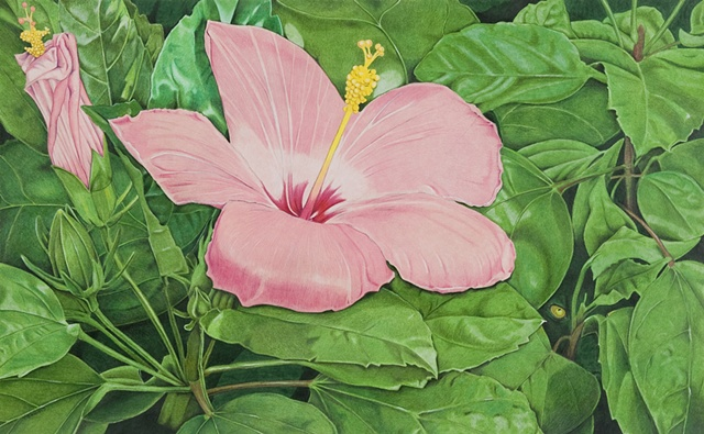 hibiscus watercolor, Watercolor of hibiscus, pink hibiscus, floral watercolor