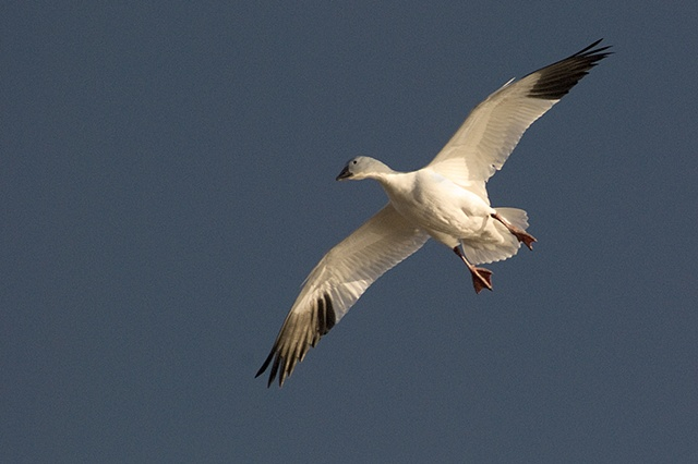 Snow Goose with Wings Spread