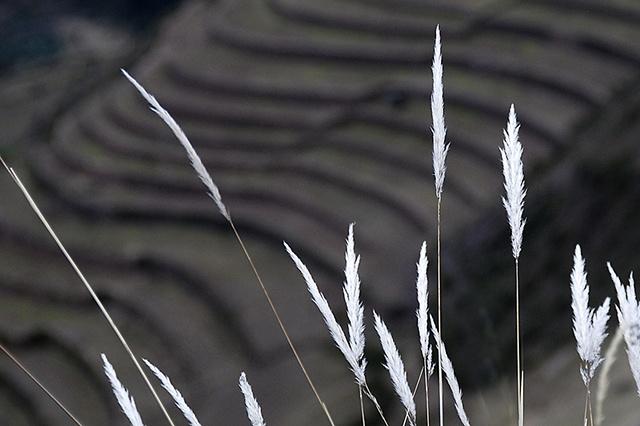 Inca Grass
