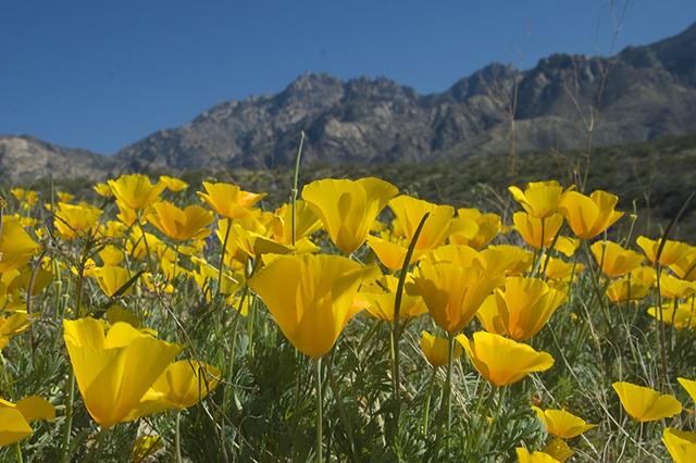 Poppies and the Catalina Range, Catalina State Park, AZ