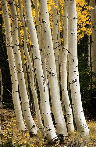 Aspen Trunks, White Mountains, AZ