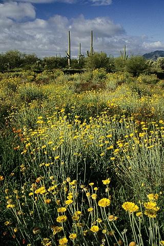 Spring in the Desert, Near Sells, AZ