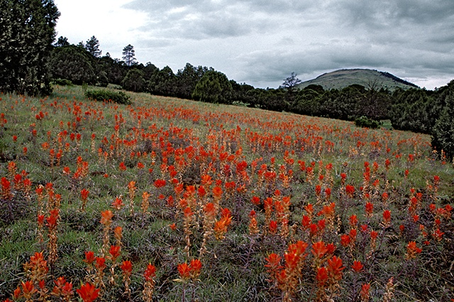 White Mountain Paintbrush, Greer, AZ