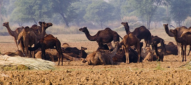Camel's Rest Stop