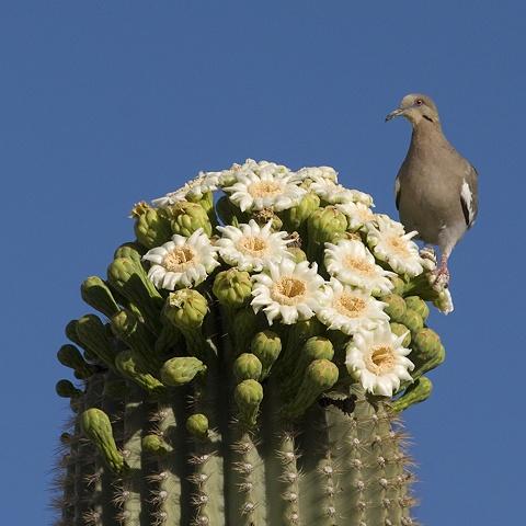 Dove in Saguaro Bonnet