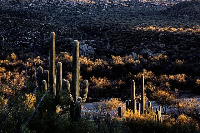 Saguaros at Dusk, Catalina State Park, Tucson, AZ