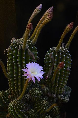 Lavender Lovinia and Cactus