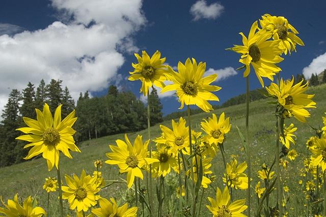 Sunflowers, Lizard Head Trailhead, CO