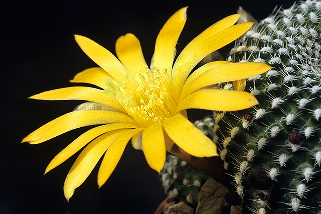 Yellow Blooming Cactus Flower