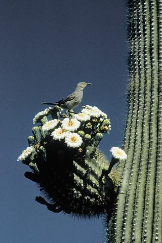 Arizona Spring, Saguaro National Park  West, Tucson, AZ