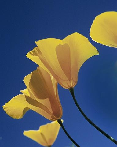 Poppy Bloom, Avra Valley, AZ