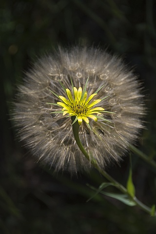 Yellow Salsify, Telluride, CO