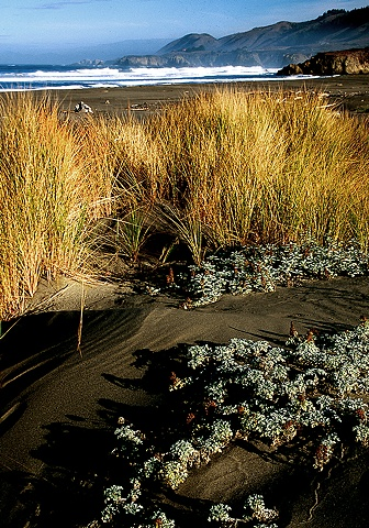 Dune Plants, 10 Mile Beach