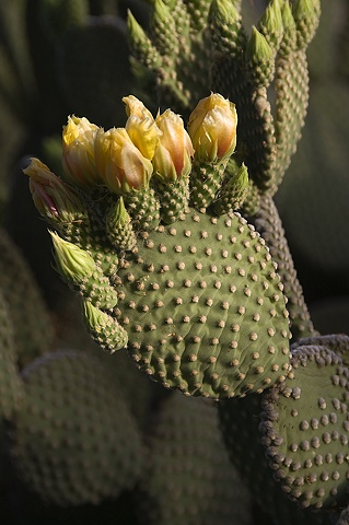 Early Buds, Prickly Pear Cactus