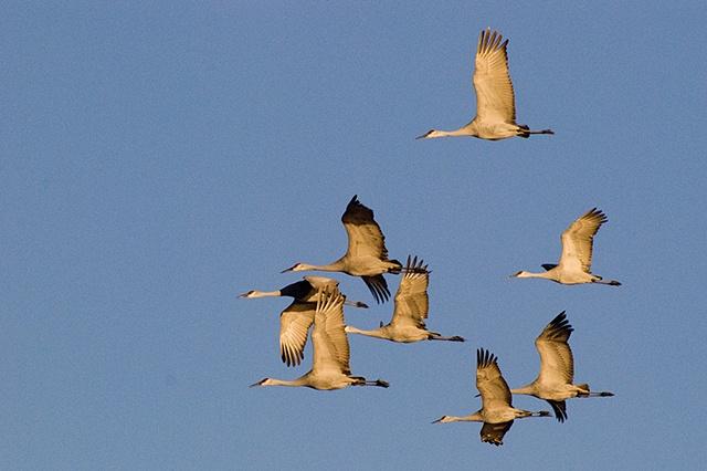 Eight Sandhill Cranes in Flight