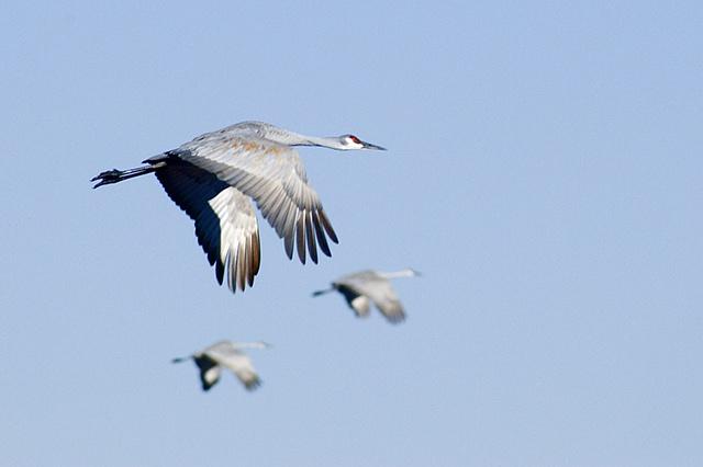 Three Sandhill Cranes Flying