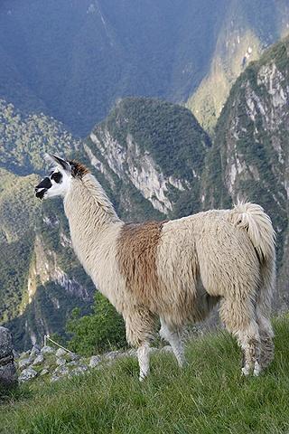 Lama, Machu Picchu