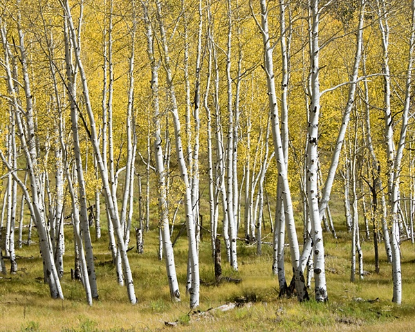 Aspen Grove, San Juan Mountains, CO