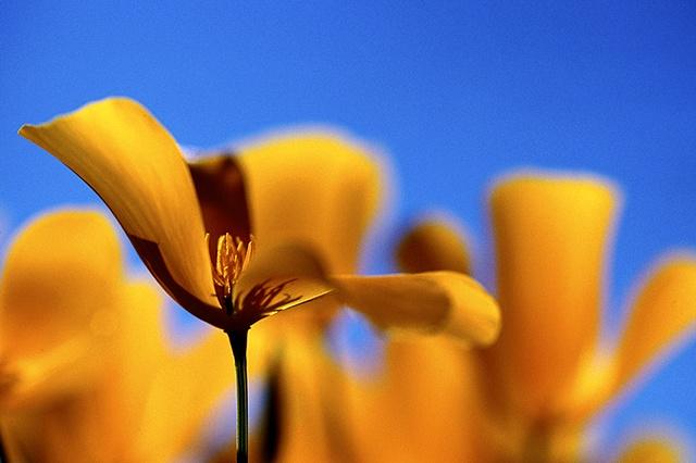 Desert Golden Poppy, Picacho Peak State Park, AZ