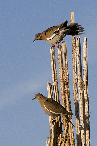 Doves on Saguaro Skeleton