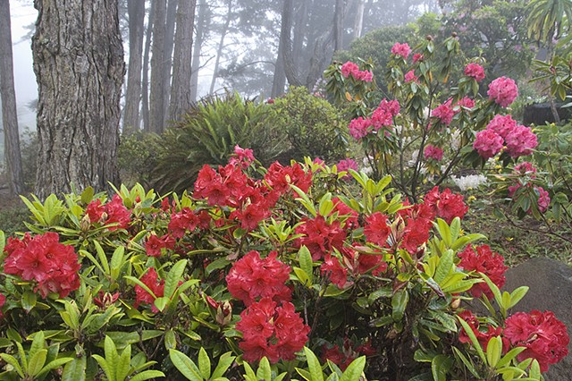 Misty Rhododendrons