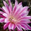 Trichocereus Blossom