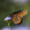 Queen Butterfly in Ageratum