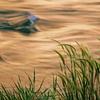 River Grass, Grand Canyon National Park, AZ
