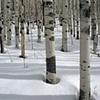 Aspen in Winter, San Juan Mountains, CO