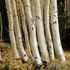 Aspen Trunks, White Mountains, AZ