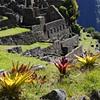 Agave, Machu Picchu