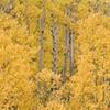 Hidden Trunks, San Juan National Forest, CO