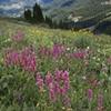 Wildflowers Along the Hope Lake Trail, San Juan Mountains, CO