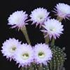 Lavender Lovinia