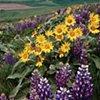 Palouse Flowers