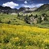 Sneezeweed, American Basin, CO