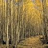 Aspen Trail, White Mountains, AZ
