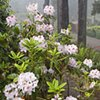 Mitchell's Rhododendrons