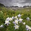 Columbine, American Basin, San Juan Mountains, CO