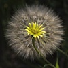 Yellow Salsify, Telluride, CO