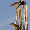 Doves on Saguaro Skeleton