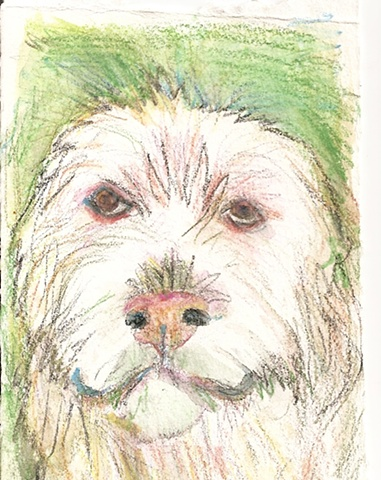 Watercolor pencil on paper depicting an Italian Spinone