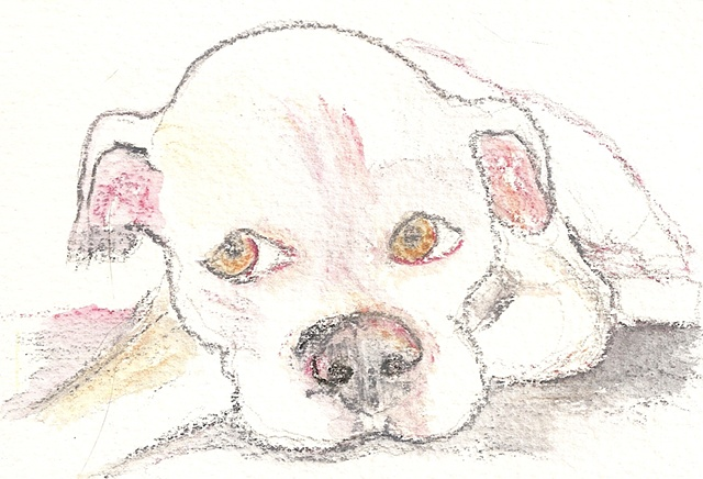 Watercolor pencil on paper depicting a young, white pitbull