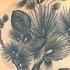 Korean Pine