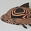 bream wall fish
