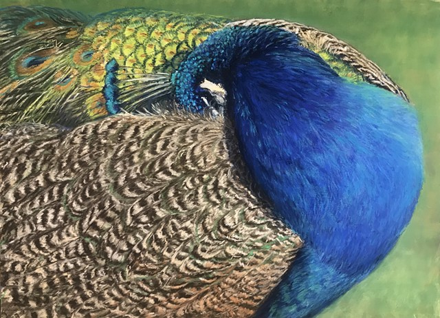 Sleeping Peacock