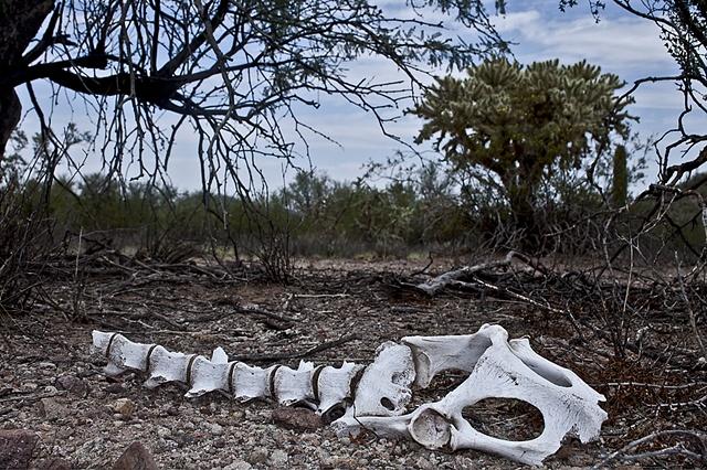 Bones in the desert near Tucson