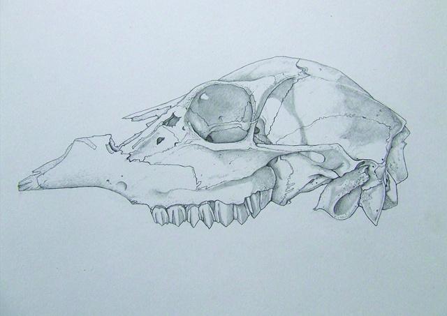 Deer skull study pencil on bristol board