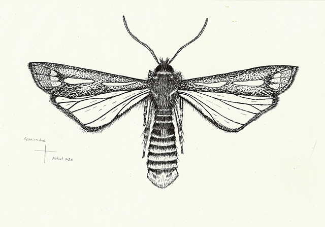 Entomological Illustration